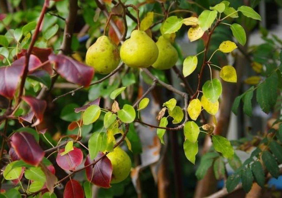 Почему краснеют листья груши