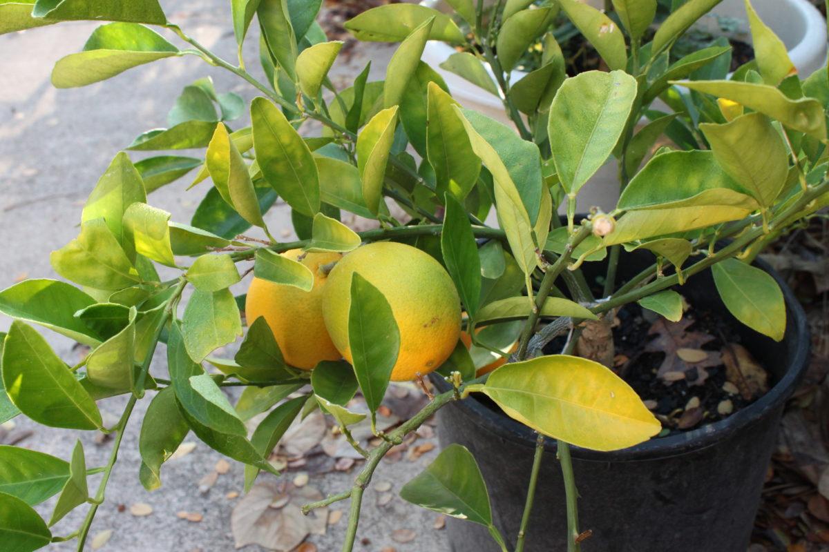 Почему желтеют листья у комнатных лимонов