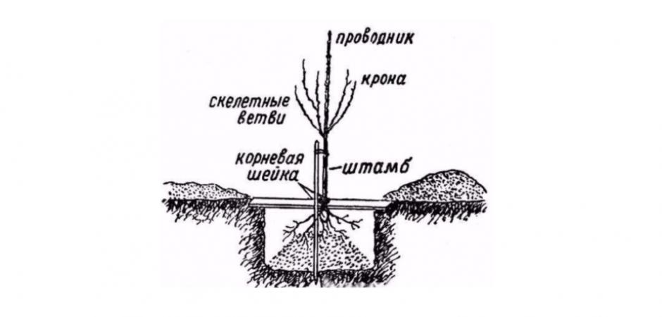 Груша Памяти Яковлева