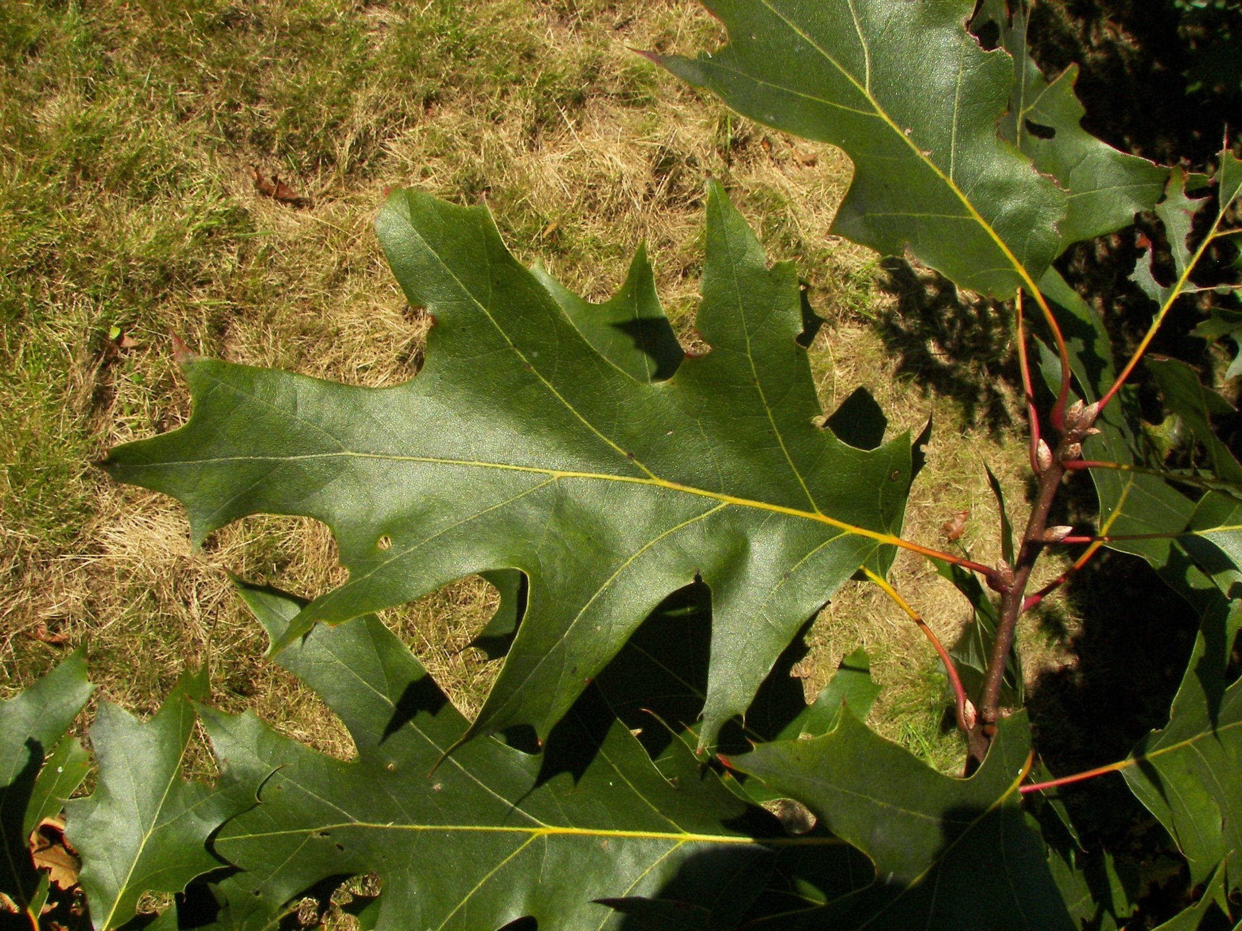 листья черного дуба