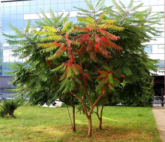 дерево сумах Dissecta
