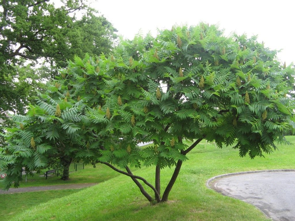 дерево сумах ланцетная форма