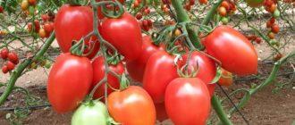 лучшие сорта томатов для теплицы из поликарбоната