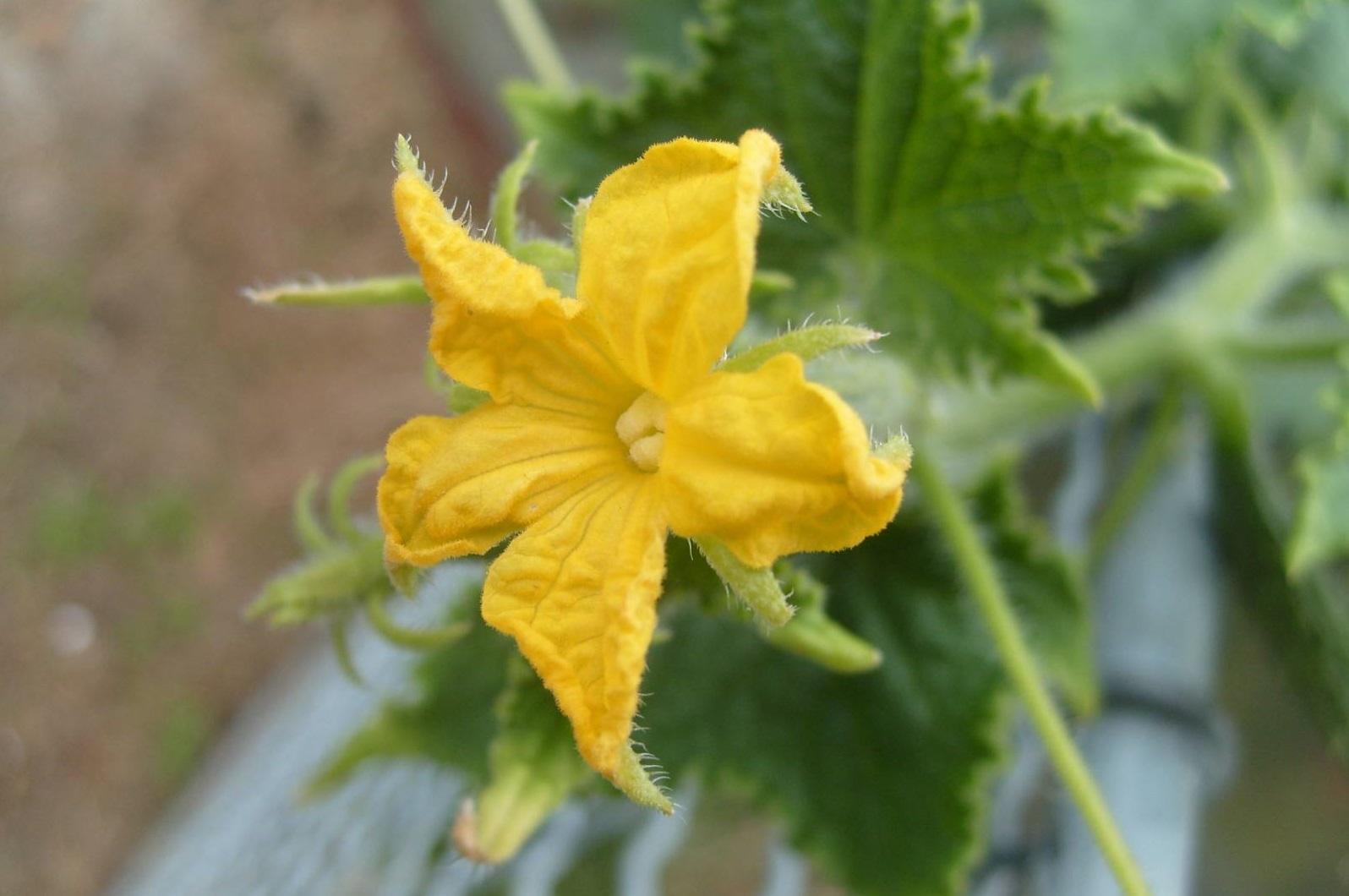лечение пустоцвета на огурцах в теплице