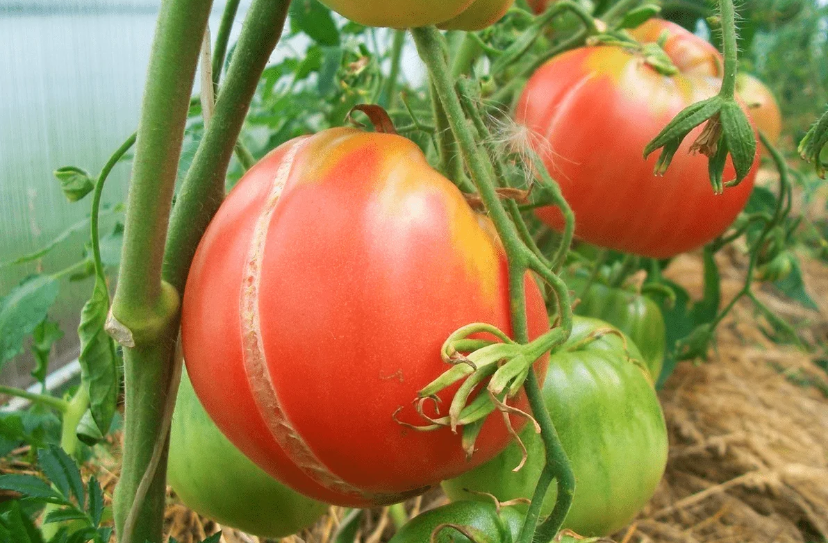 как избежать растрескивания помидоров