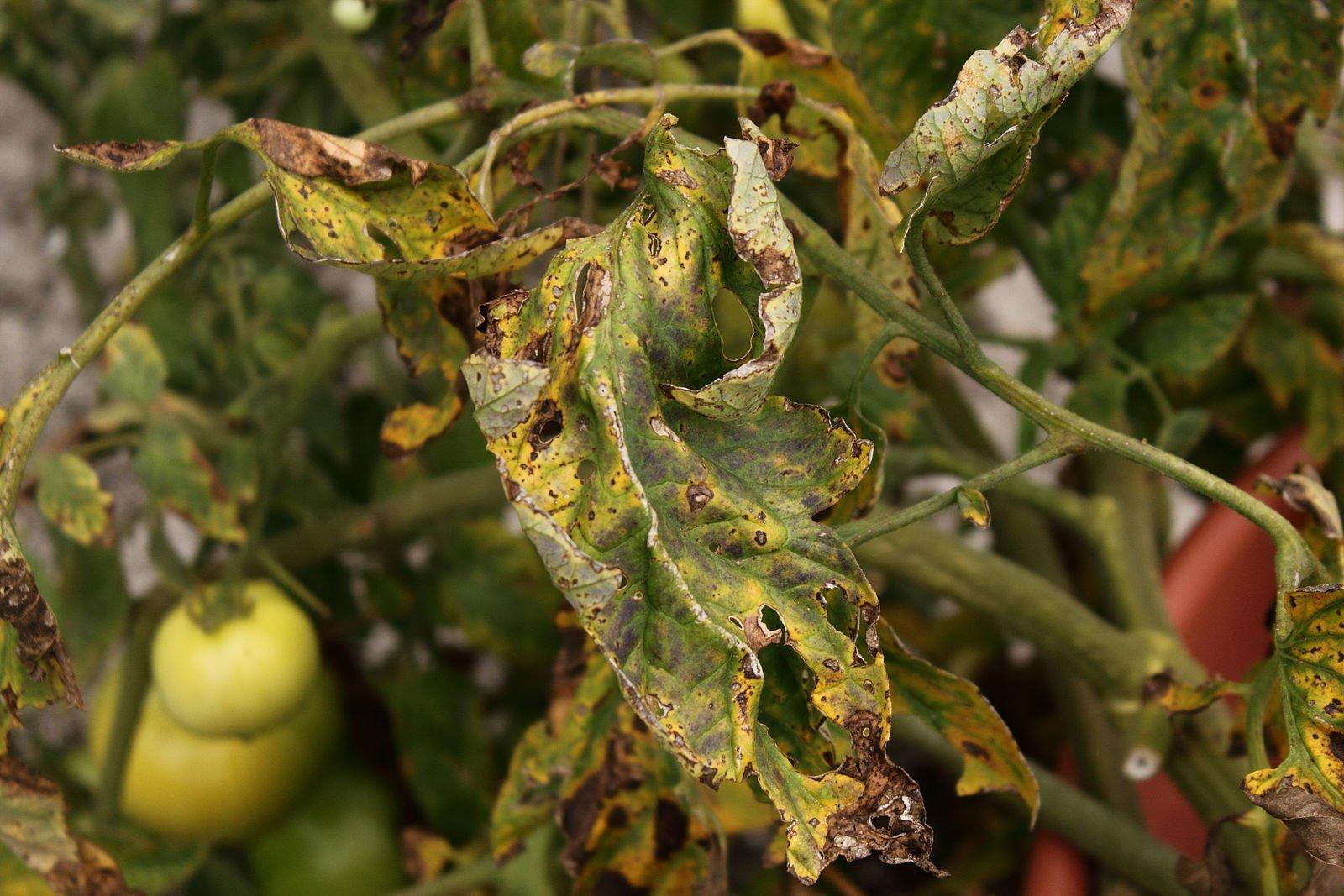 признаки и лечение кладоспориоза томатов в теплице и в открытом грунте