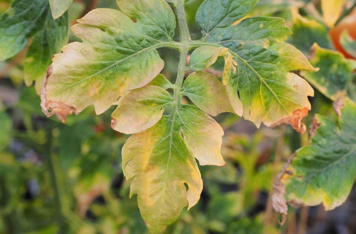 Почему желтеют листья у помидоров в теплице: главные причины + способы лечения