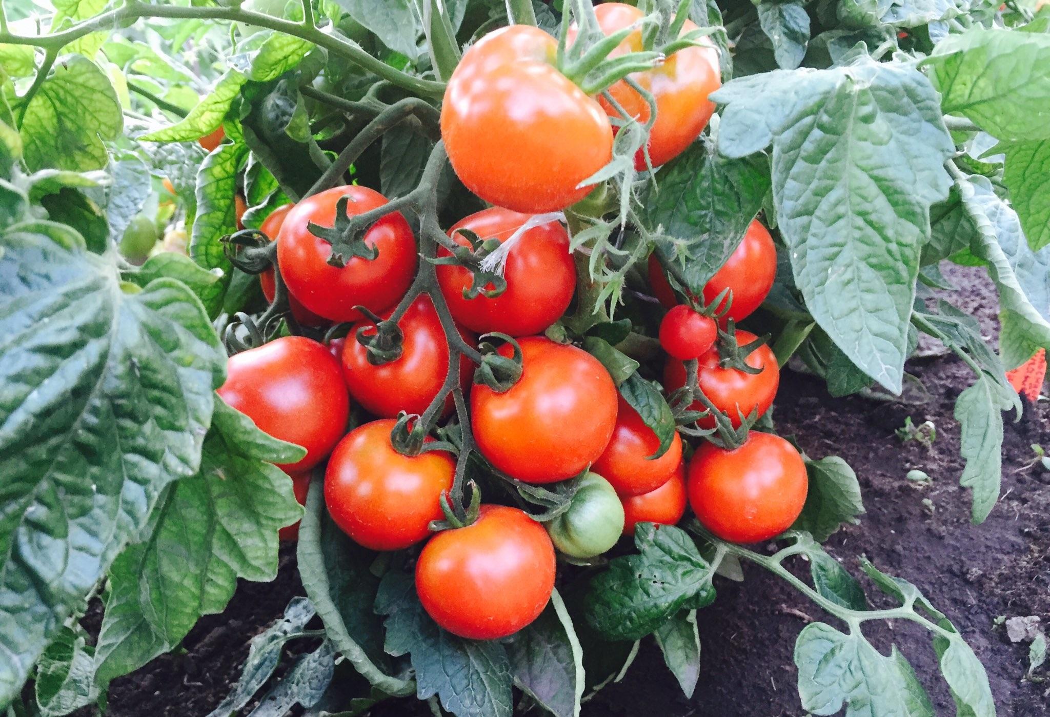 лучшие низкорослые сорта томатов для теплицы Подмосковья, Сибири, Урала, средней полосы, северо-западных регионов