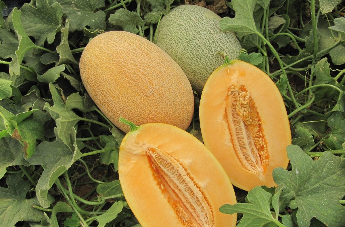 руководство по выращиванию дыни в теплице