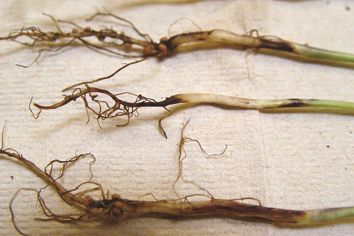 Простыми словами почему гниют перцы в теплице: причины и лечение
