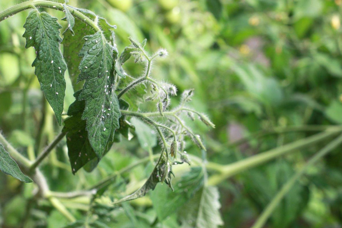 почему скручиваются листья у томатов в теплице и как помочь растению
