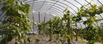 технология выращивания винограда в теплице