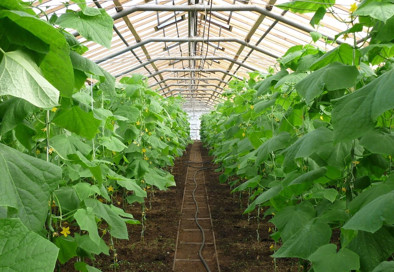 особенности совместного выращивания помидоров и огурцов в одной теплице