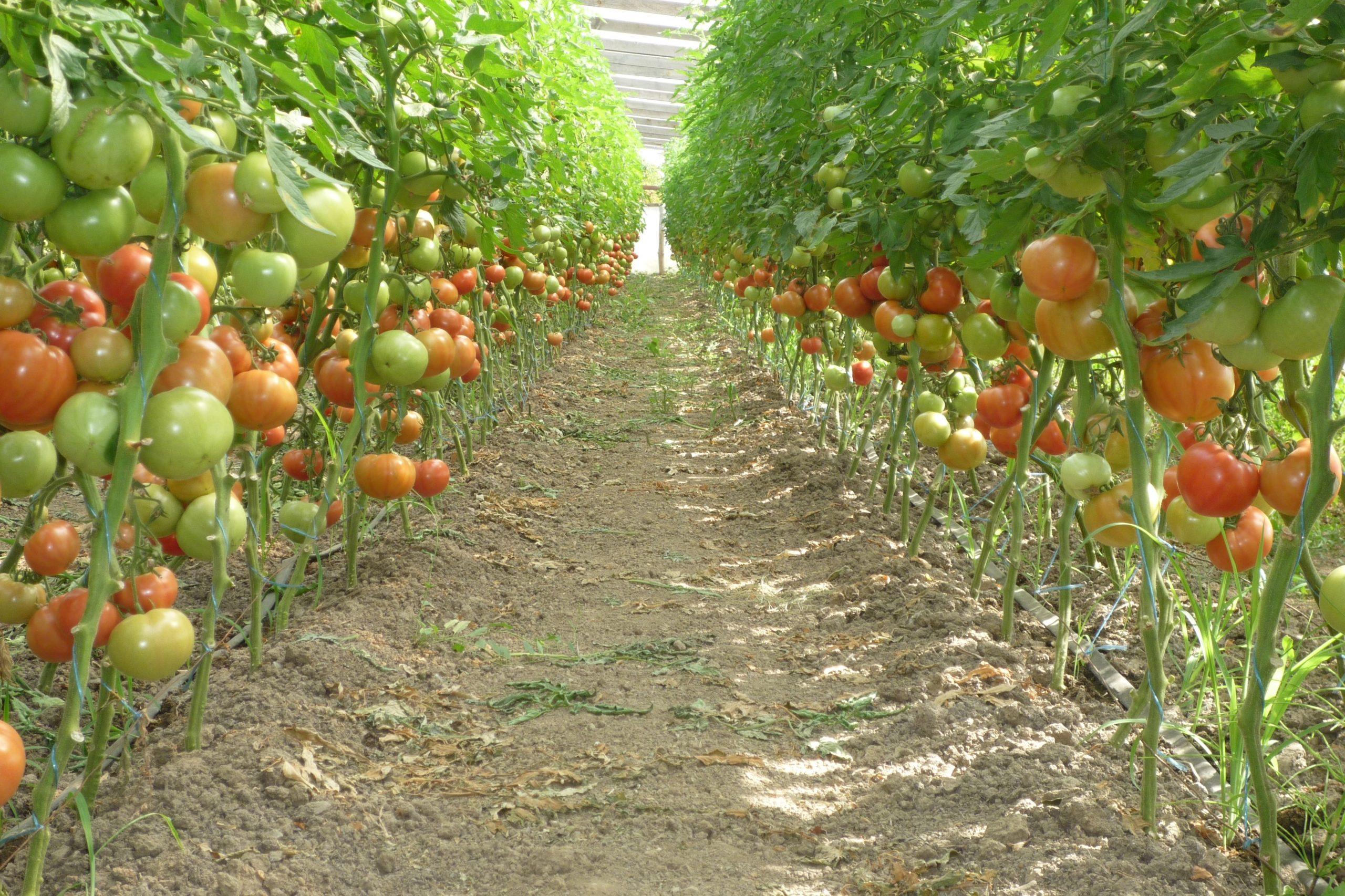 Почему долго не созревают томаты в теплице