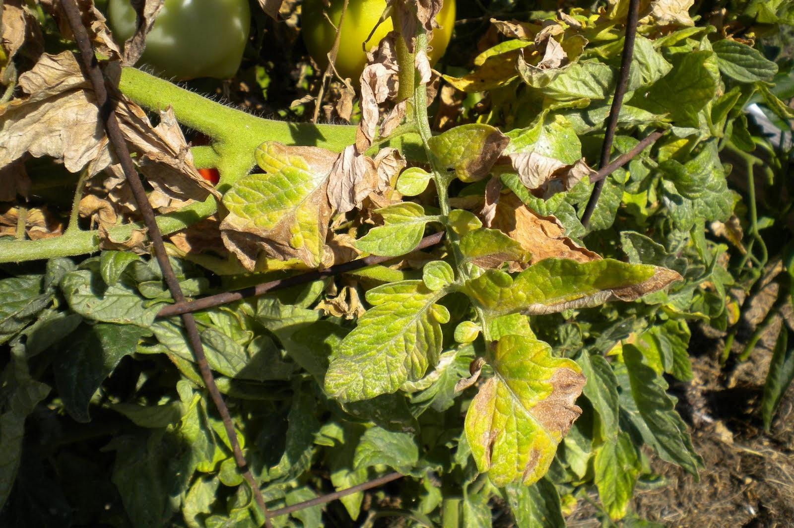 Почему желтеют помидоры в теплице: основные причины + лечение