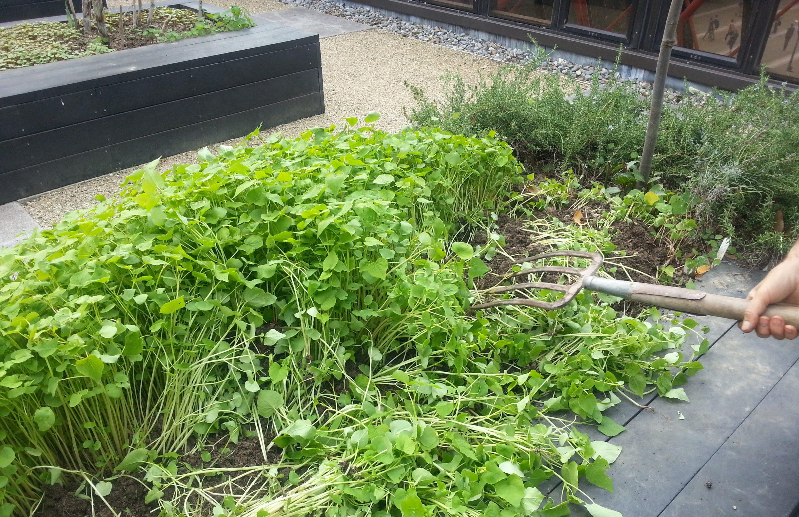 как вырастить зелень в теплице