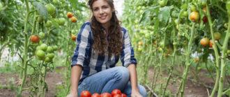 когда снимать помидоры в теплице