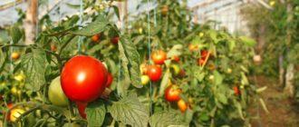 чем удобрять томаты в теплице