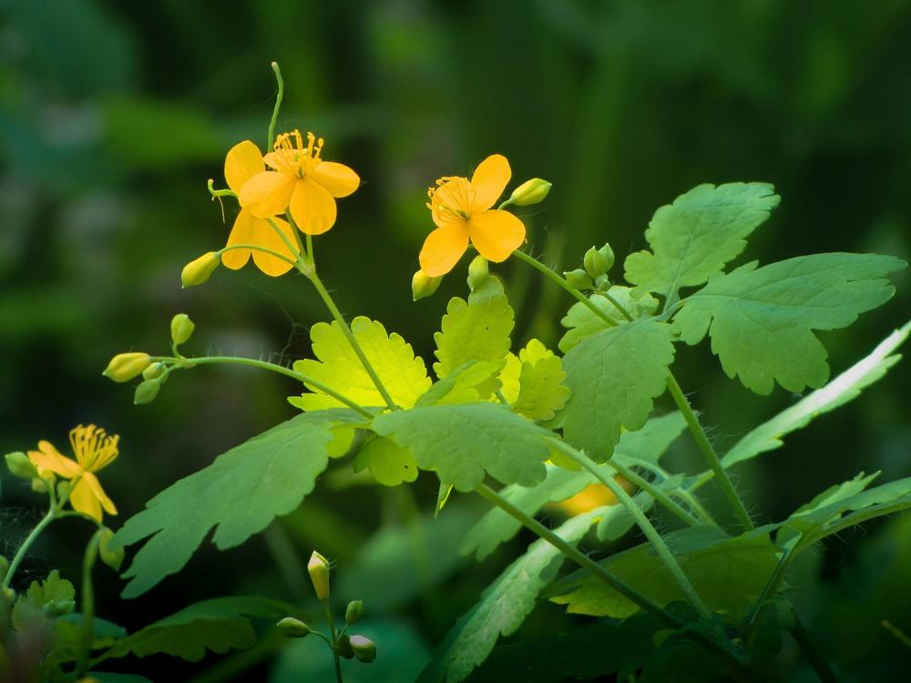 Чистотела трава (Celandine herb)
