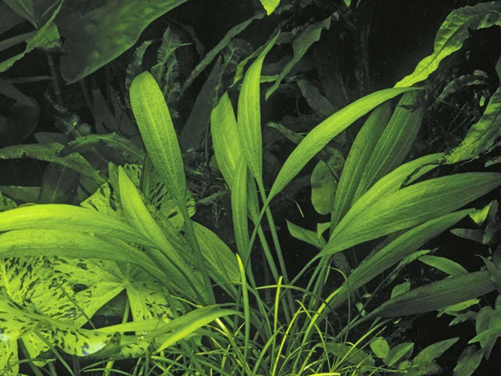 Аквариумные растения от А до Я