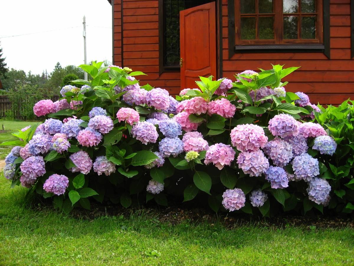 Обзор самых неприхотливых долгоцветущих многолетников для дачи и сада