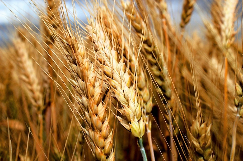 Как, когда и чем удобрять озимую пшеницу?