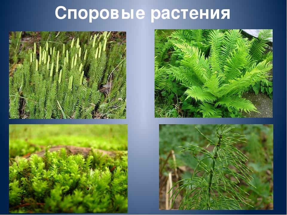 Высшие растения. Высшие споровые растения. Общая характеристика.